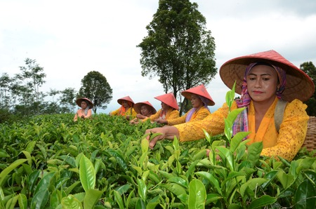 Tea pickers at the plantation in Lumajang government, East Java, Indonesia. Tea is produced and then exported to Japan, China and European countries. Photo taken, November 15, 2013. Photo taken on: November 14th, 2013.