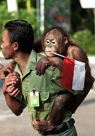 Shows orangutan follow the flag ceremony at the safari park, East Java, Indonesia on May 18th, 2001