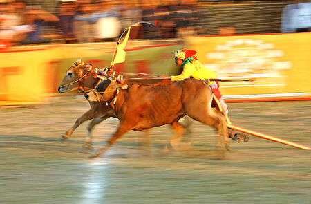 Traditional bull racing festival on the Indonesian island of Madura 写真素材