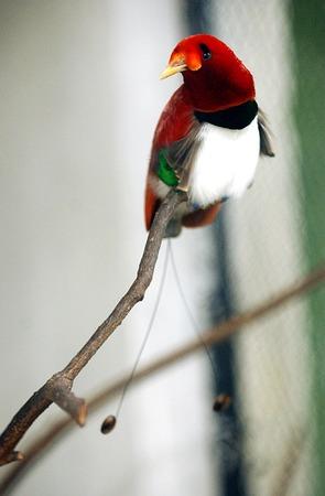 パプアは、バードオブ パラダイス、cicinnurus レジアス (cendrawaih ラジャ) を示しています。 写真素材