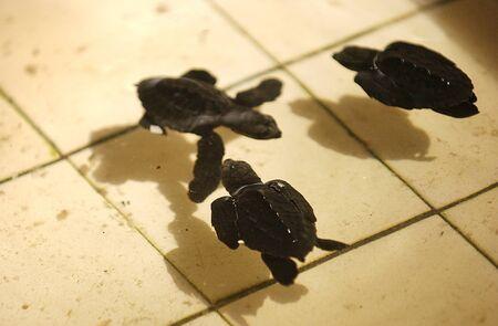 cold blooded: Turtles in tortoise breeding center Ngagelan Beach, the National Park Alas Purwo, Banyuwangi, East Java, Indonesia Stock Photo