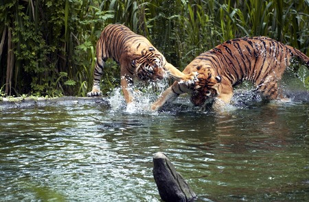 are taken: Tiger fights in lake at the Park in Pasuruan, East Java, Indonesia. Photo taken on: January 26th, 2005