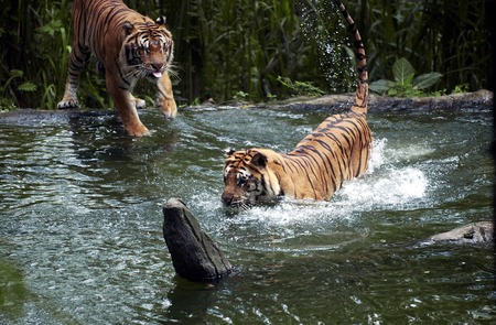 are taken: Tiger fights in lake at the Safari Park in Pasuruan, East Java, Indonesia. Photo taken on: January 26th, 2005