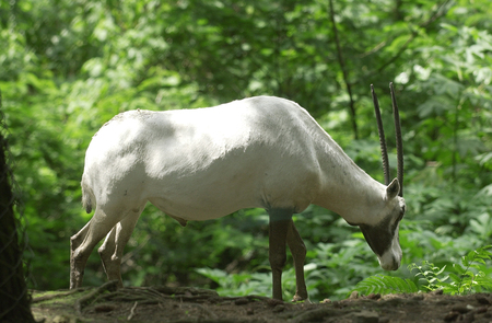 adapted: Antelope at Safari Park, Cisarua, Bogor, West Java, Indonesia. Stock Photo