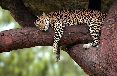 leopard sleeping in a tree in the Safari Park Indonesia Pasuruan, East Java, Indonesia