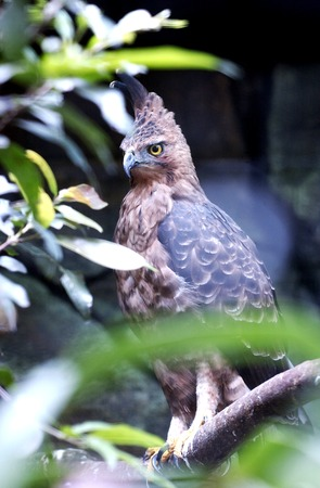 The Javan hawk-eagle