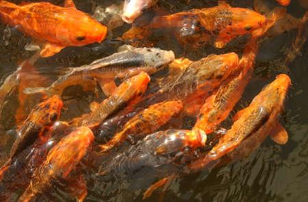 Fancy carp (fish) in Indonesia photo