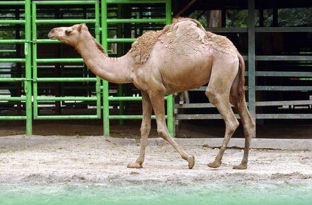 スラバヤ動物園のラクダ