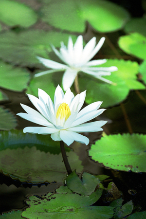 flor: Lotus Flower in a pond (flor)