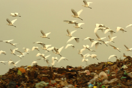 pile reuse engine: Egret flying over landfills in Benowo, Surabaya, Indonesia. Photo taken on: July 20, 2006
