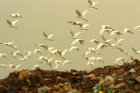 landfills: Egret flying over landfills in Benowo, Surabaya, Indonesia. Photo taken on: July 20, 2006
