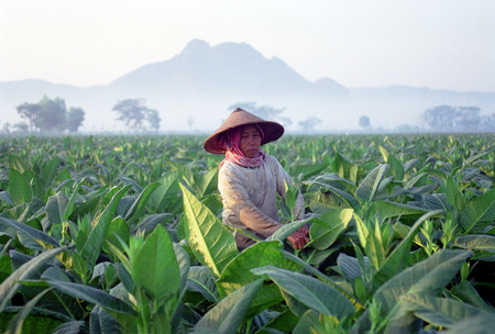 Female farmer picking tobacco leaf tobacco plantation area in Tulungagung, East Java, Indonesia 報道画像