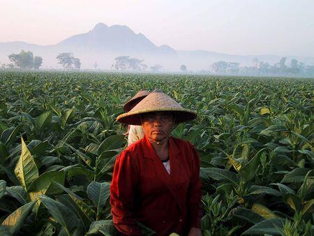 tobacco leaf: Female farmer picking tobacco leaf tobacco plantation area in Tulungagung, East Java, Indonesia Editorial
