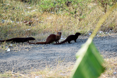 small clawed: The Otter family red in the nature