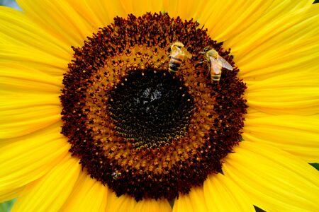 stamen wasp: Sunflower in Indonesia Stock Photo