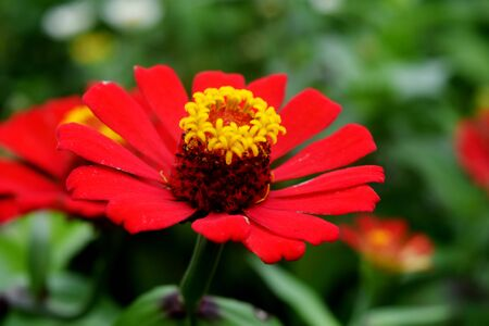 asteraceae: A red daisy, ballis perennis, botanical family: Asteraceae, also known as Gerbera