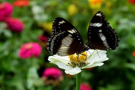 asteraceae: Butterfly looking for nectar on a white asteraceae flower