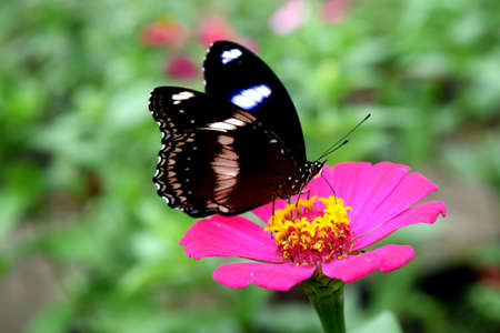 asteraceae: Butterfly looking for nectar on a pink asteraceae flower Stock Photo