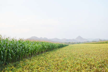 Rice fields planted with corn