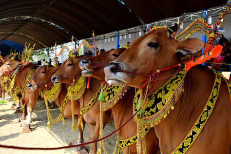 Decorated cows contest before the final of the Cow Race, held every year on the island of Madura in the Stadium of Pamekasan, Indonesia on November 25, 2015 報道画像