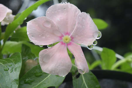 Periwinkle (Vinca minor) blooms with morning dew. Summer flowers are a genus of flowering plants in the Apocynaceae family, native to Europe, northwest Africa and southwest Asia