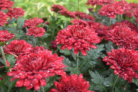 Bloom and bud red chrysanthemum as background