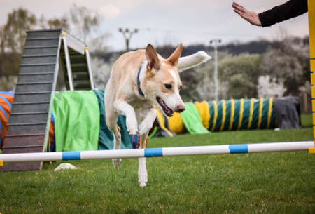 Dog, is running in agility. Amazing evening, Hurdle having private agility training for a sports competition Stock Photo