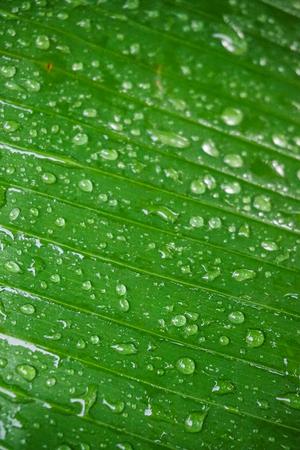 Wet Banana Leaf Banco de Imagens