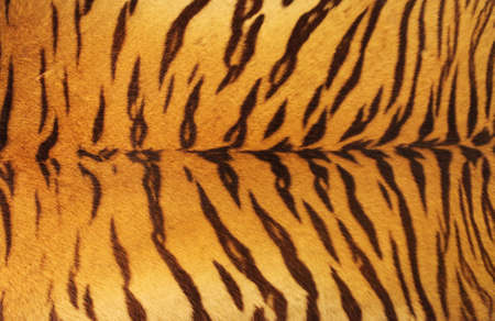 Uitgestrekt tijger huid aan een muur gehangen