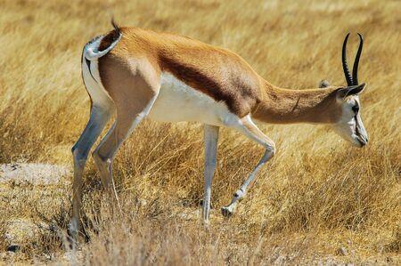 grazing Springbok in the Etosha National Park, Namibia  Stock Photo