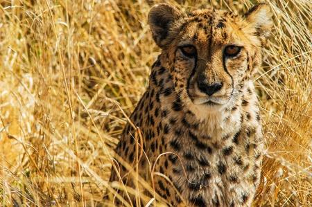 Cheetah sitting in the grass, Etosha National Park, Namibia Stock Photo