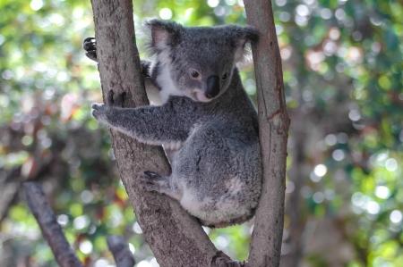 marsupial: Koala bear  Phascolarctos cinereus  in a tree, Autralien