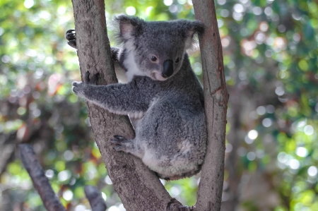 koalabeer: Koala Phascolarctos cinereus in een boom, Autralien Stockfoto