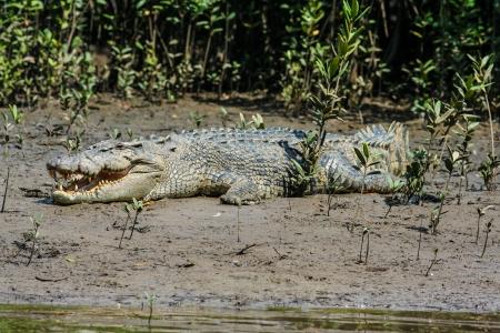 A saltwater crocodile  Crocodylus porosus  in the Daintree River, Australia