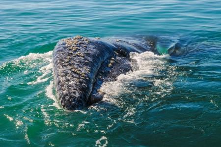 baleen whale: Las ballenas grises Eschrichtius robustus en la bah�a de Guerrero Negro, M�xico Foto de archivo