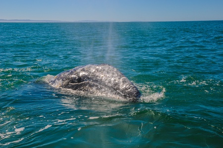 blow hole: Gray whales  Eschrichtius robustus  in the Guerrero Negro bay, Mexico  Stock Photo