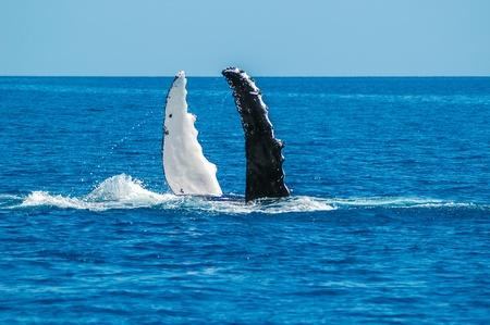 baleen whale: Ballena jorobada Megaptera novaeangliae en la costa de Australia