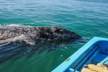 Gray whales  Eschrichtius robustus  in the Guerrero Negro bay, Mexico  Stock Photo - 14509658