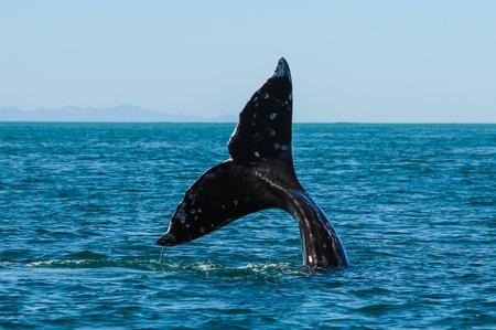 ballena: Las ballenas grises Eschrichtius robustus en la bahía de Guerrero Negro, México Foto de archivo