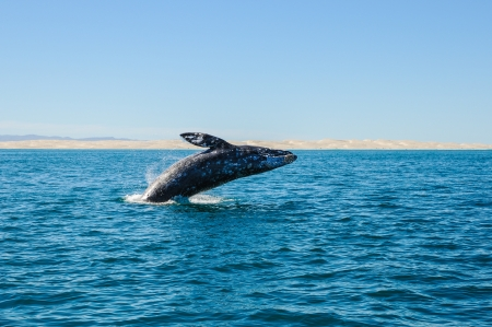 whale: Breaching Gray whales  Eschrichtius robustus  in the Guerrero Negro bay, Mexico
