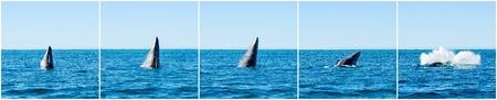 baleen whale: Incumplir con las ballenas grises Eschrichtius robustus en la bah�a de Guerrero Negro, M�xico