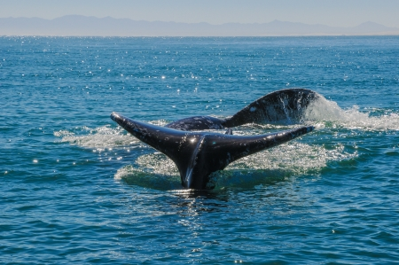 Gray whales  Eschrichtius robustus  in the Guerrero Negro bay, Mexico  Stock Photo - 14509667
