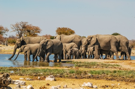 Herd of elephants  Elephantidae  at a waterhole in Etosha National Park, Namibia photo