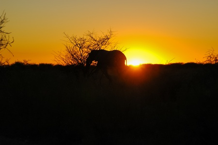 Elephant  Elephantidae  at sunset in Etosha National Park, Namibia Stock Photo