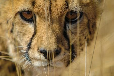 chita: Cheetah Acinonyx jubatus en la sabana, Namibia Foto de archivo