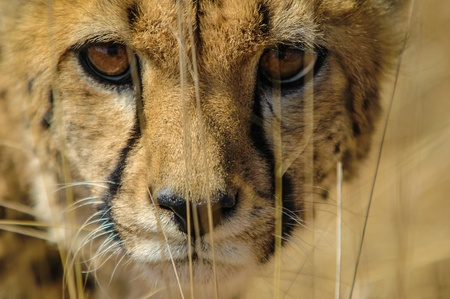 cheetah: Cheetah Acinonyx jubatus en la sabana, Namibia Foto de archivo