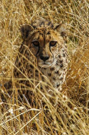 Cheetah  Acinonyx jubatus  in the savanna, Namibia