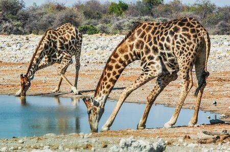 drinking giraffe  Giraffa camelopardalis  in the Etosha National Park, Namibia photo