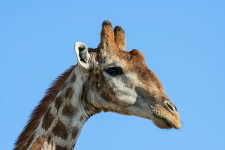 Giraffe  Giraffa camelopardalis  against a blue sky, Namibia  photo
