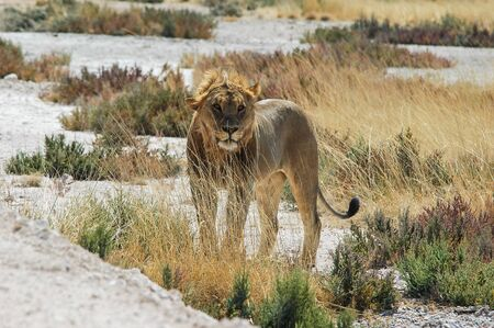 Young lion  Panthera leo  in the Etosha National Park, Namibia